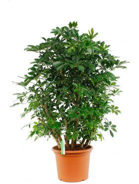 Grote Schefflera kamerplant kopen