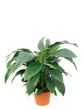 Spathiphyllum Sensation