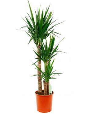 Yucca drie stammen met puntige blad