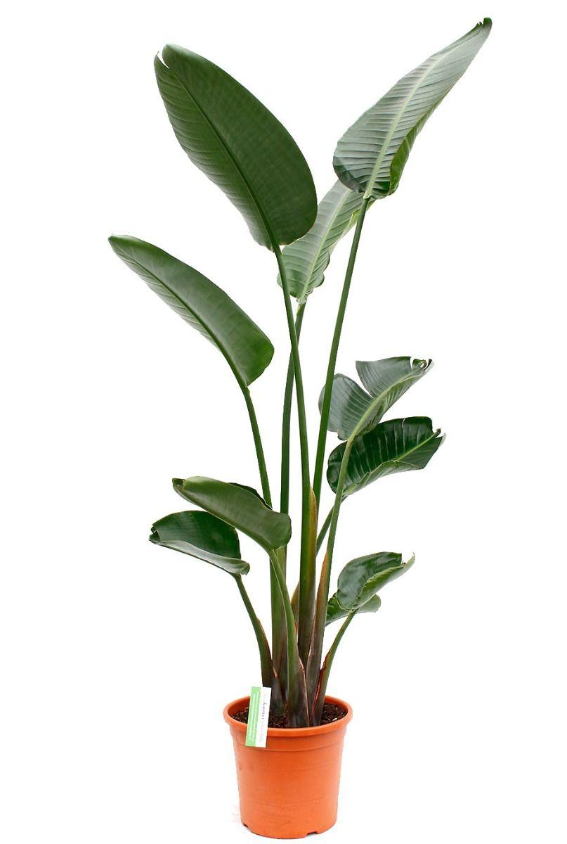 Grote strelitzia Nicolai kopen bij 123planten