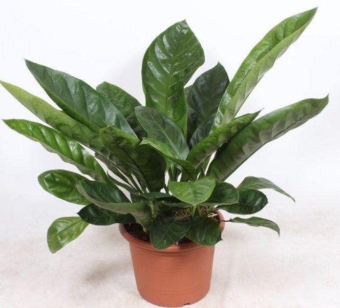 Anthurium Antingo