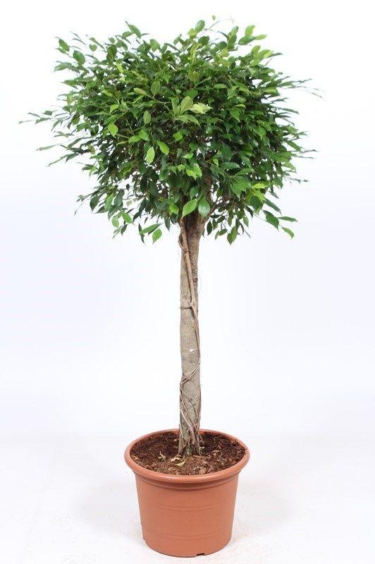 Ficus Foliole