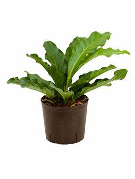 Anthurium jungle hybriden