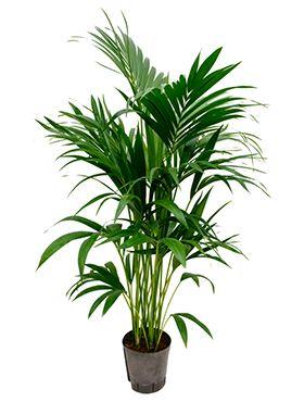 Kentia hydroplant