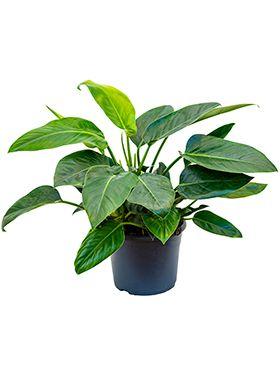 Philodendron green congo
