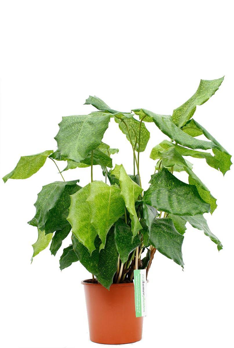Calathea Network kamerplant kopen bij 123planten