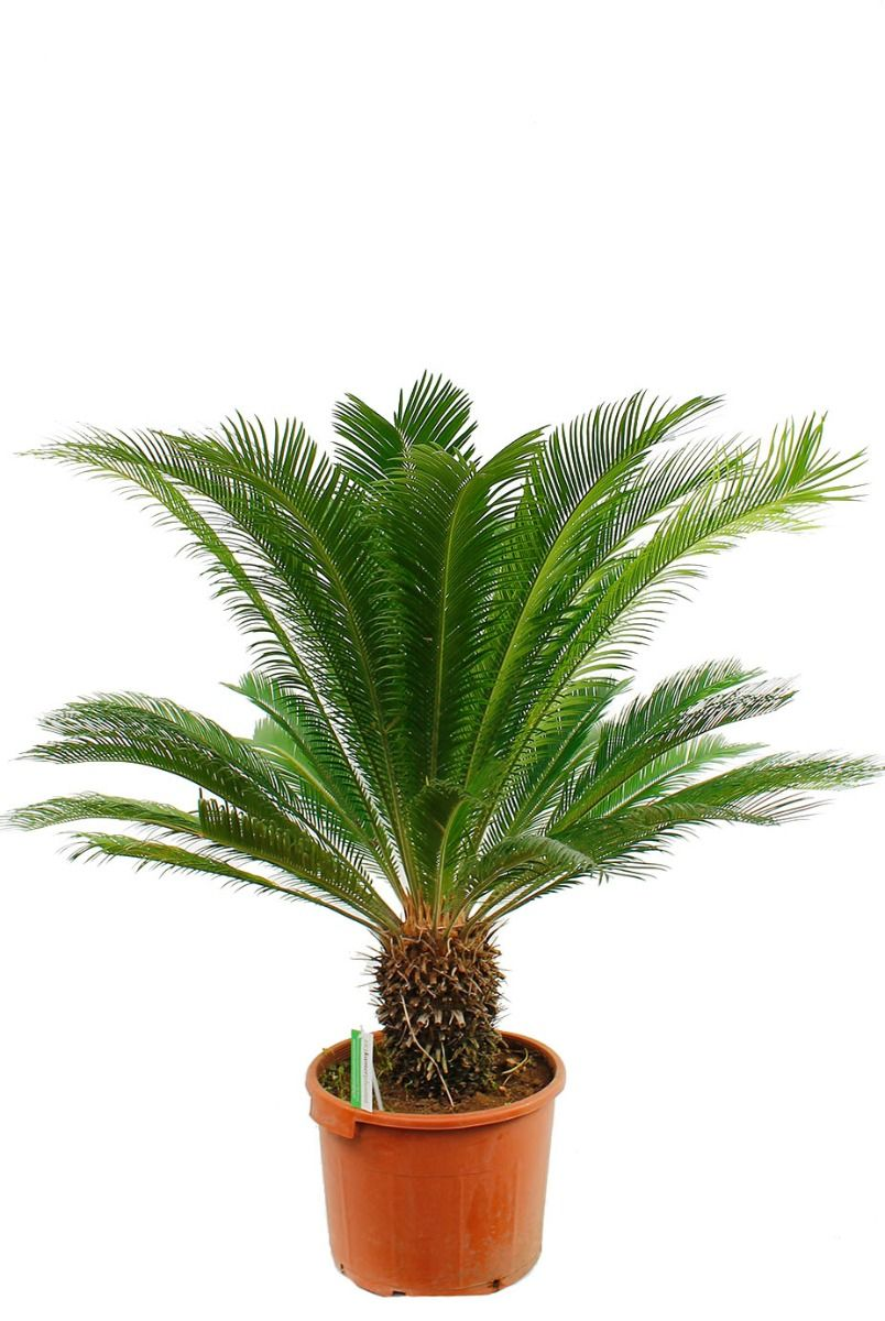 Mooie grote Cycas palm