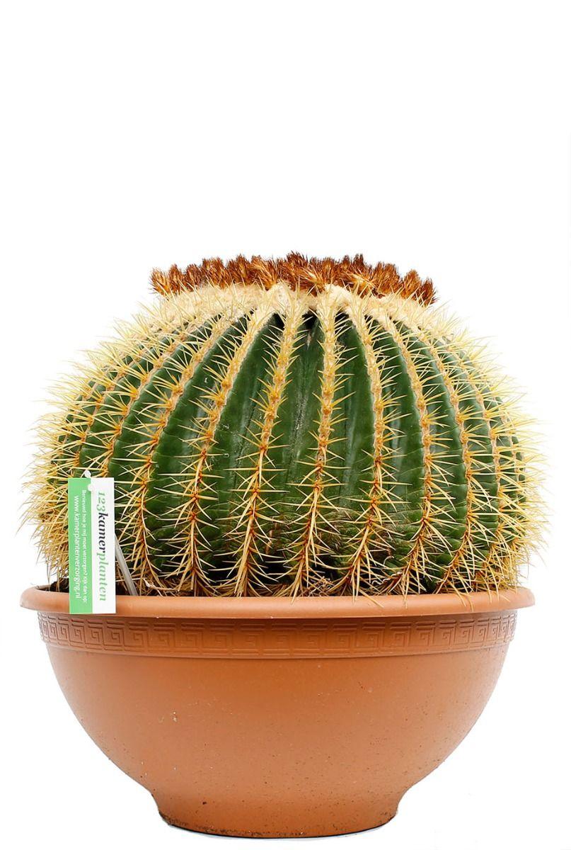 Grote cactus kopen bij 123planten