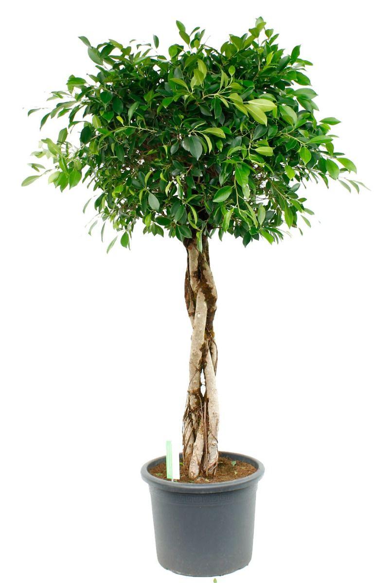 Ficus Nitida kamerplant