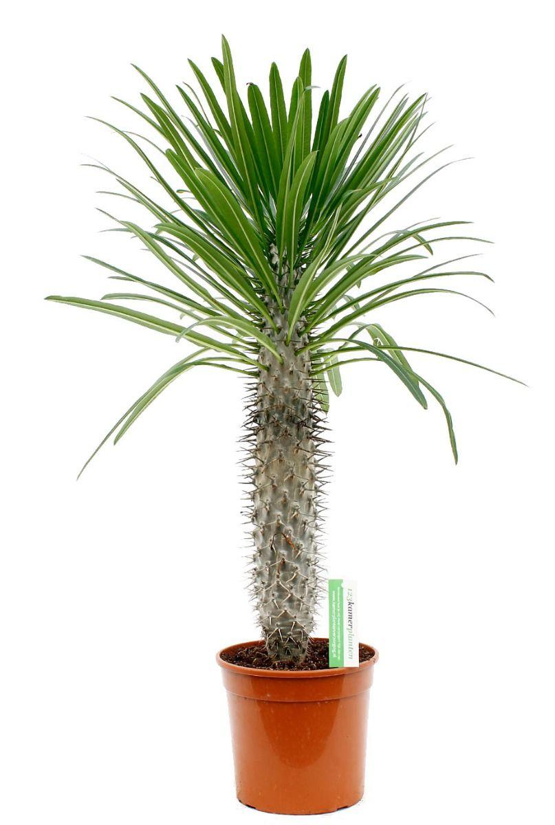 Mooie Pachypodium lamerei palm kopen bij 123planten