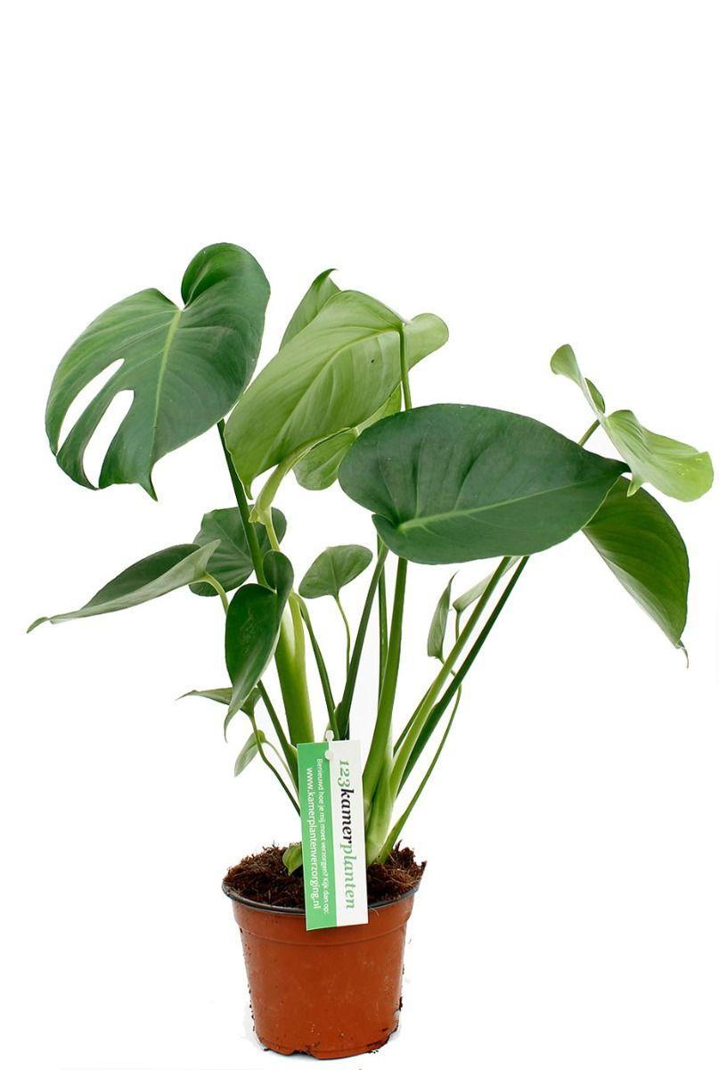 Philodendron monstera kamerplant kopen bij 123planten