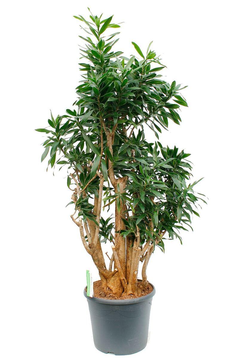 Dracaena Pleomele Reflexa grote kamerplant met stoere stam