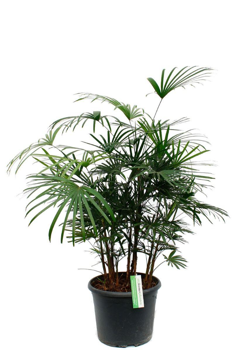 Rhapis humilis kamerplanten kopen voor in de woonkamer of kantoor
