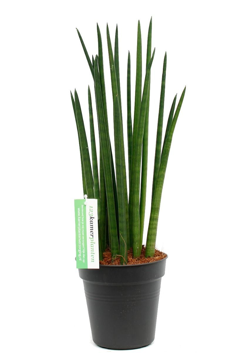 Sansevieria spikes stoere vrouwentong