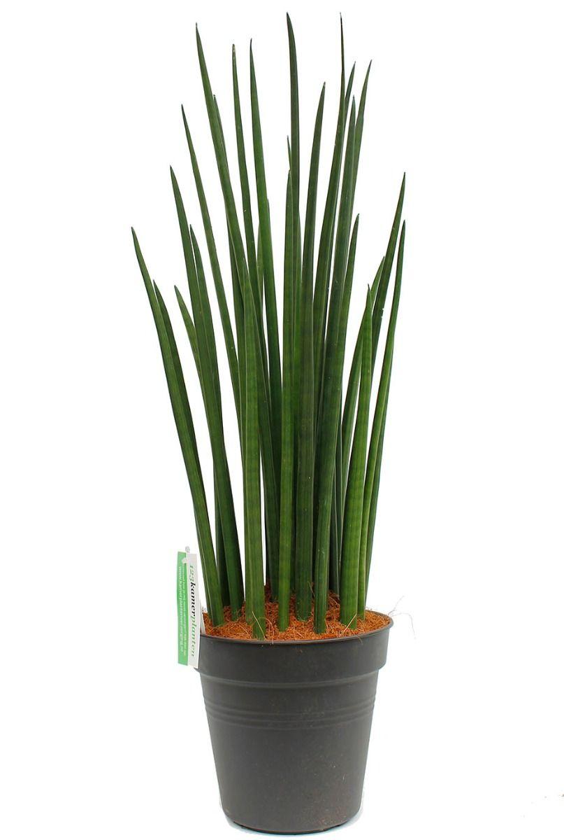 Grote Sansevieria Spikes kamerplant