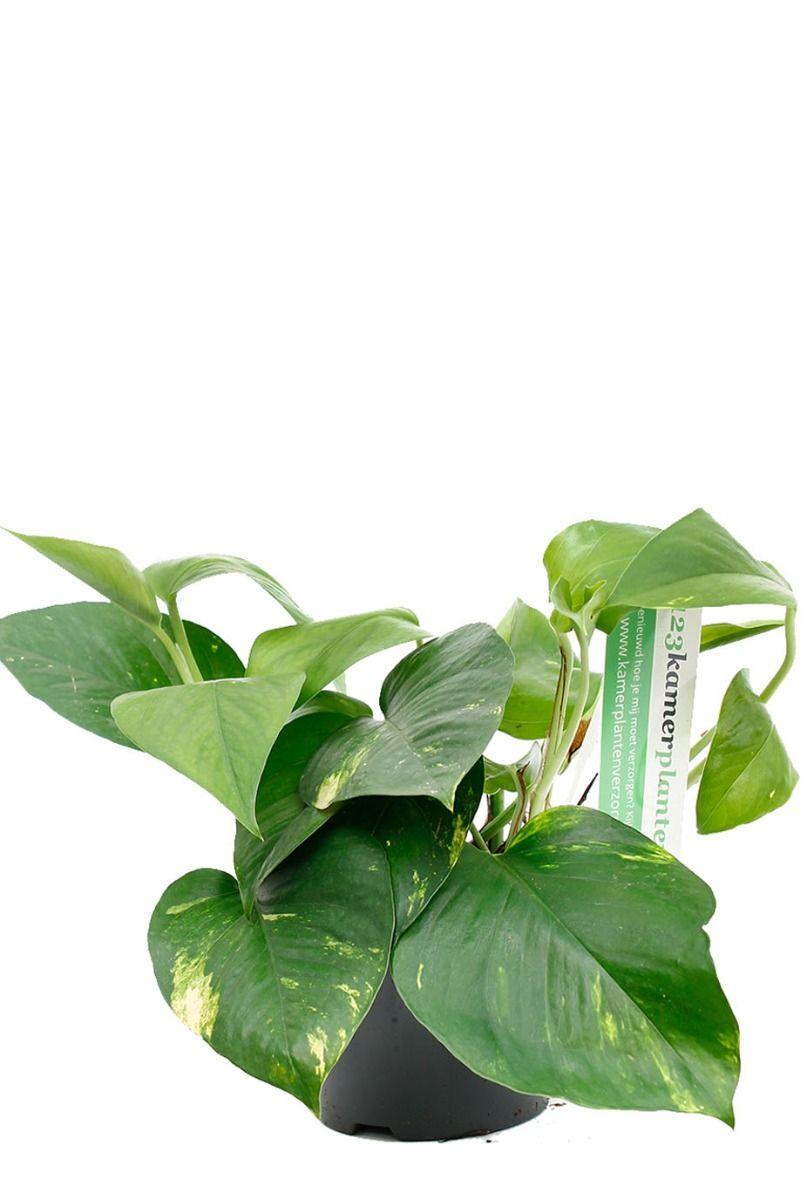 Scindapsus aureum kamerplant bij 123plant
