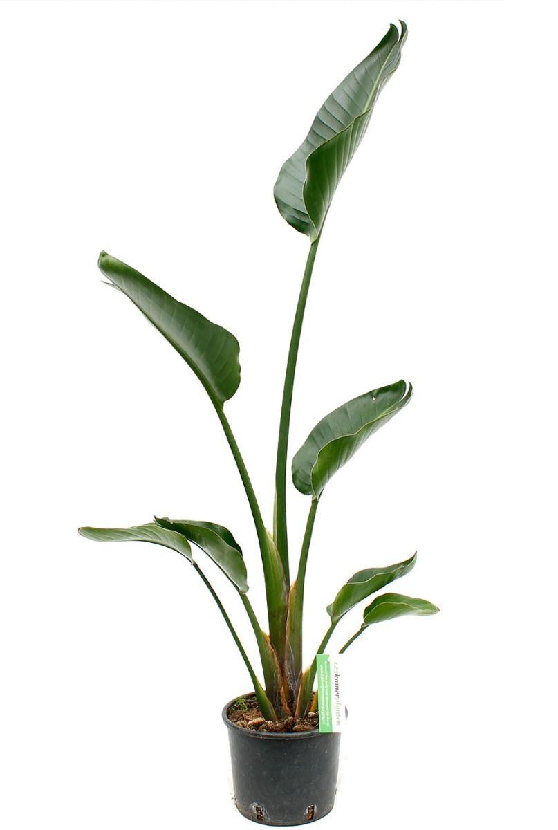 Leuke strelitzia nicolai kamerplanten