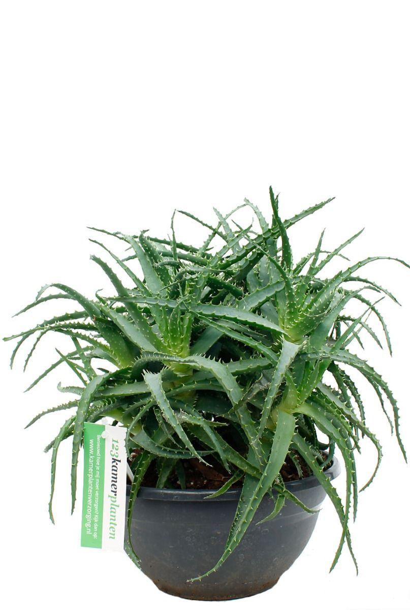 Prachtige Aloe arborescens kamerplant kopen bij 123planten