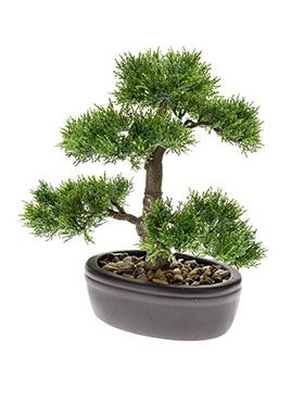 Bonsai Cedar
