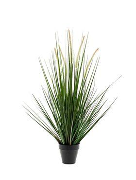 Alopecurus grass