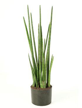 Baton plant