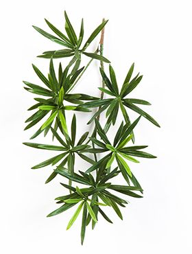 New podocarpus spray