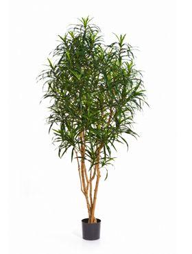 Dracaena anita tree