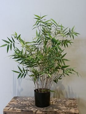 Oriental bamboo tree