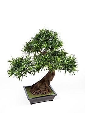 Bonsai Podocarpus