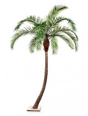 Phoenix palm curved