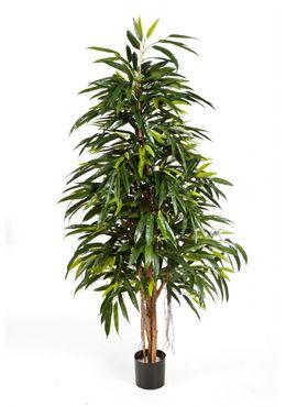 Longifolia royal natural