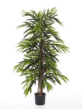 Longifolia de luxe