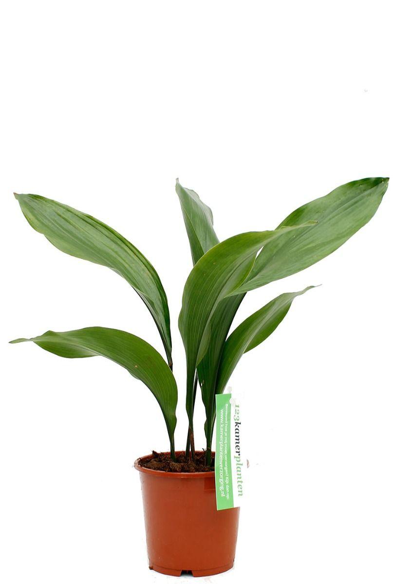 Aspidistra Eliator kamerplant met lang groene bladeren