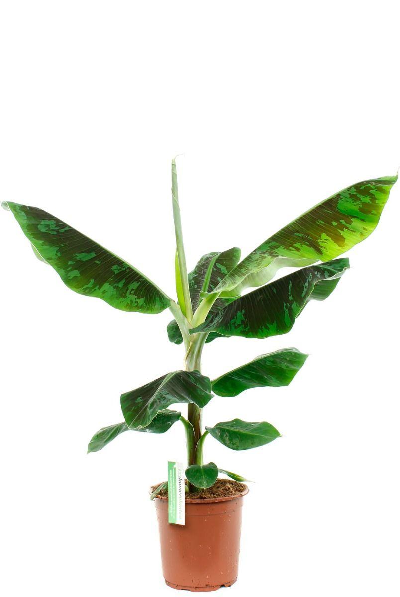 Musa bananenplant met grote bladeren