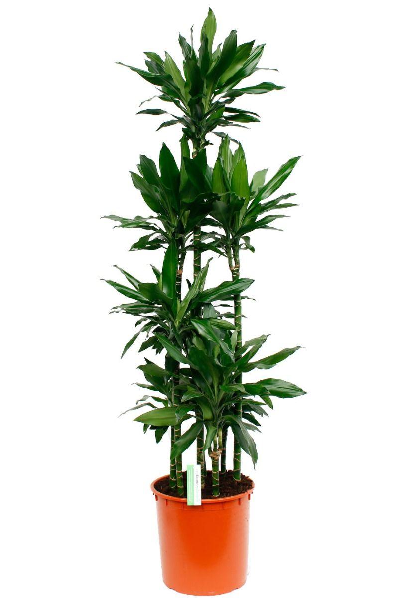 Grote Dracaena Janet Lind kamerplant kopen
