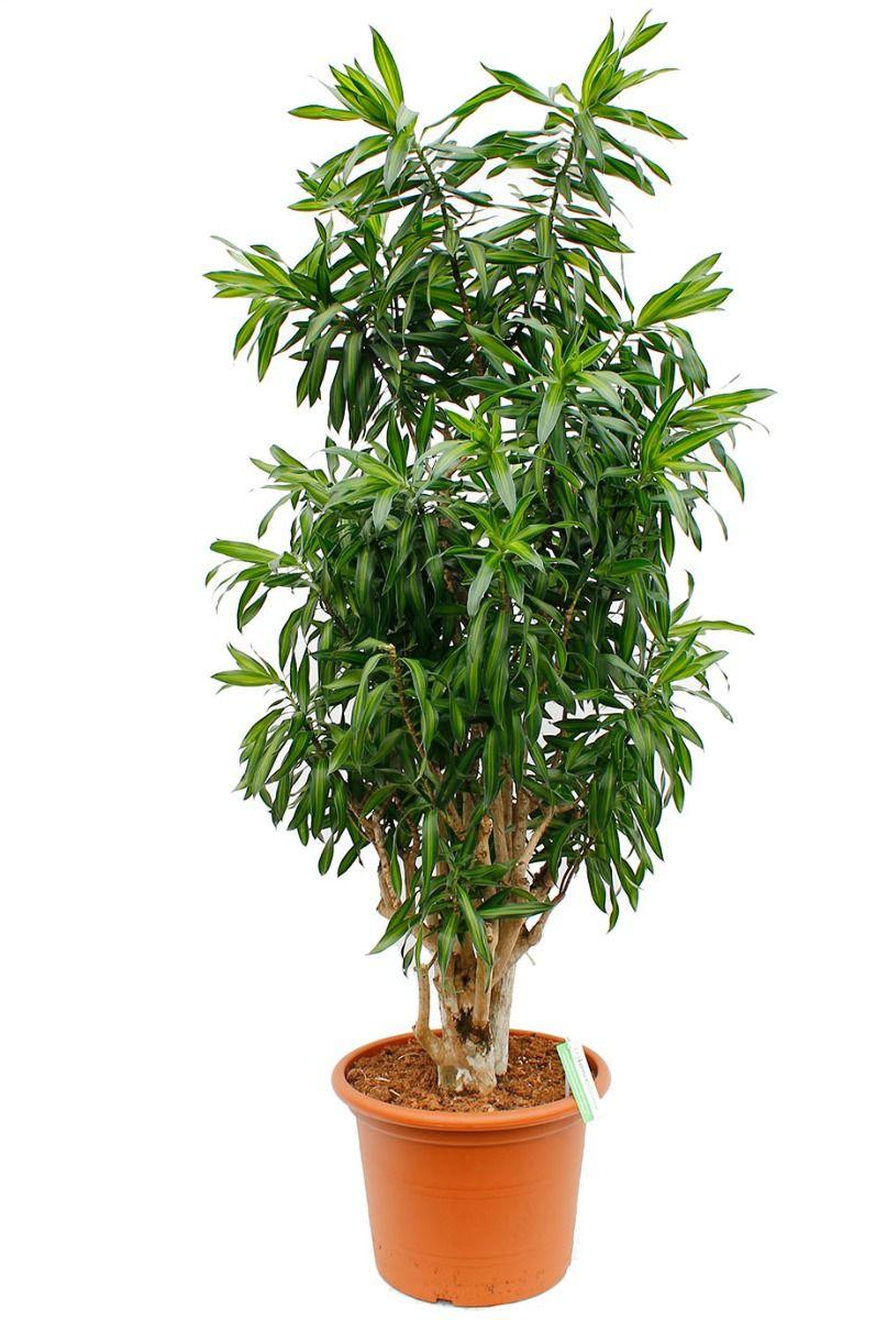 Dracaena Song of Jamaica kamerplant met dikke stam