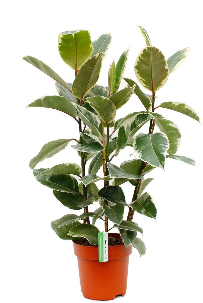 Mooie Ficus met drie stammen en grote bladeren