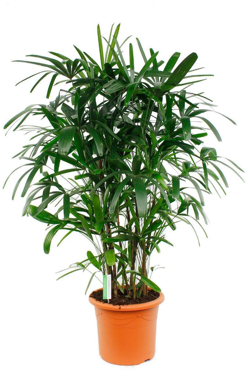 Rhapis excelsa palm kamerplant