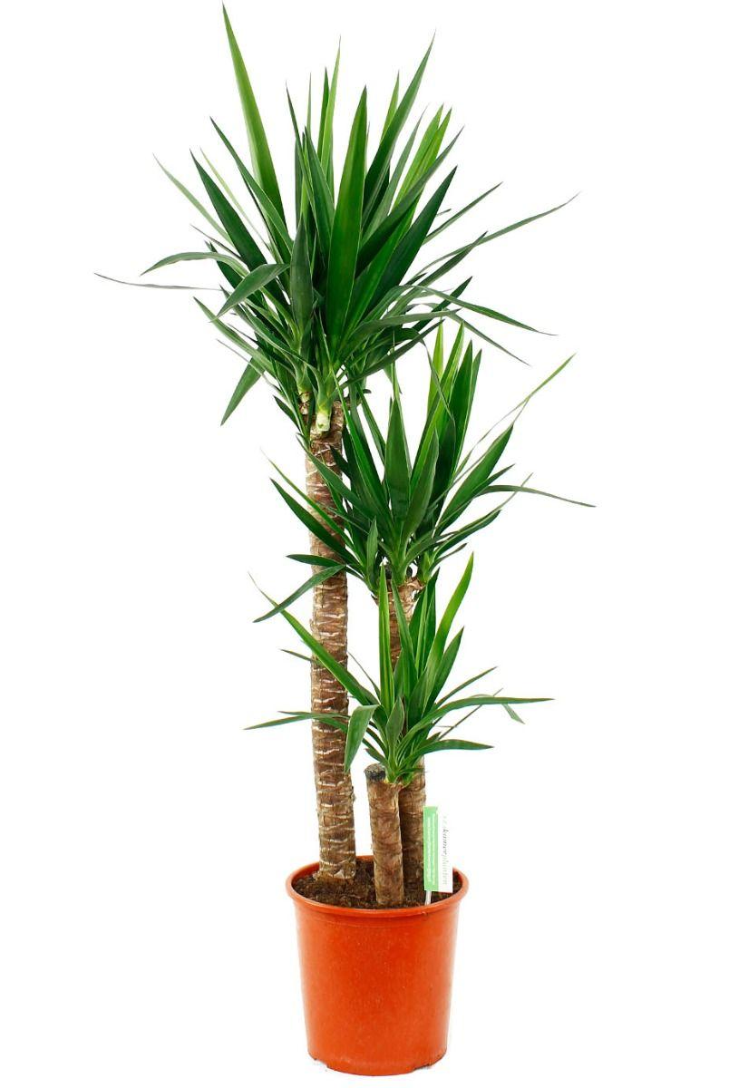 Yucca Elephantipes Kamerplant Van 140 Cm Kopen 123plantennl