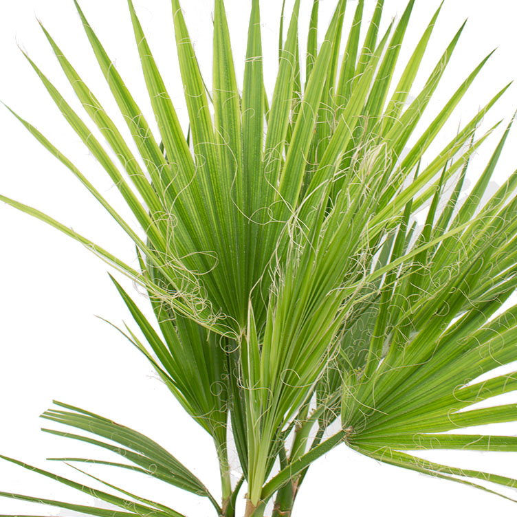 Washingtonia verzorging