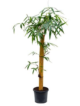 Bamboe Plant Binnen.Bamboe Verzorging Tips Informatie 123planten Nl