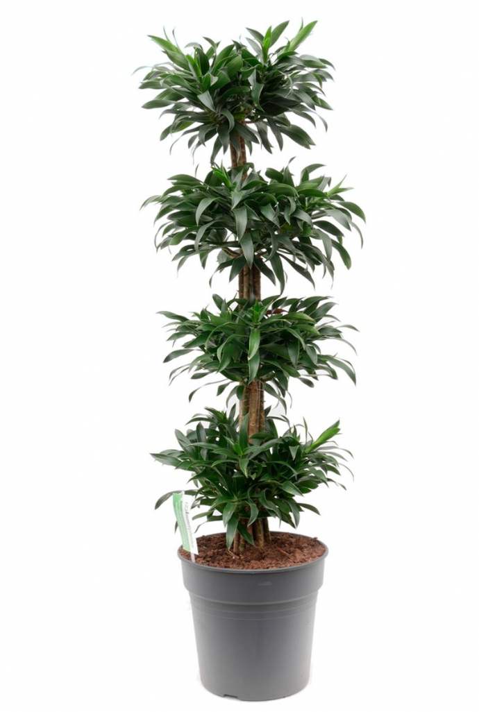 Grote Groene Plant.Reflexa