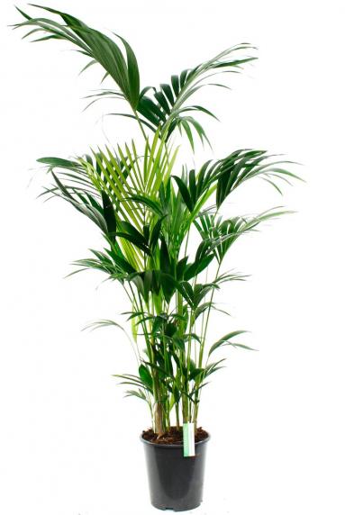 Grote Groene Plant.Grote Kamerplanten Tot Wel 4 Meter Hoog 123planten Nl