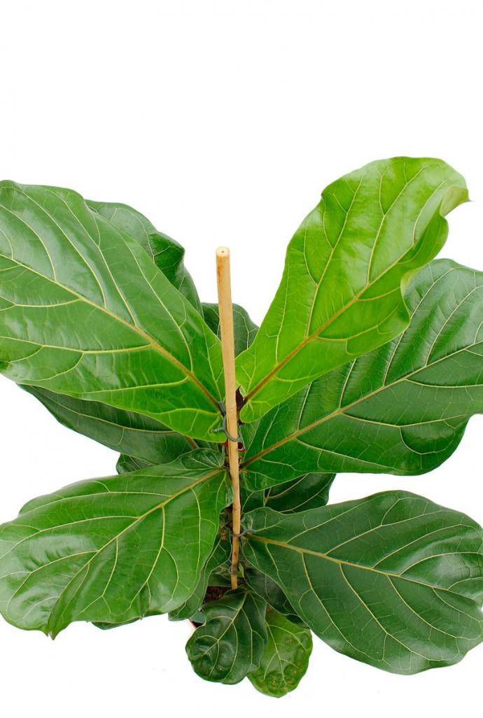 Grote Groene Plant.Ficus Lyrata
