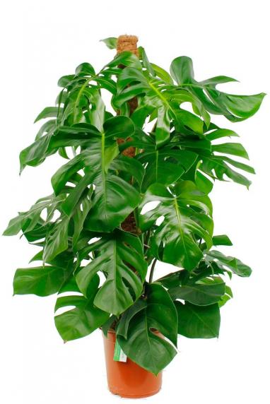 Kamerplant Hoge Pot.Makkelijke Sterke Kamerplanten Kopen 123planten Nl