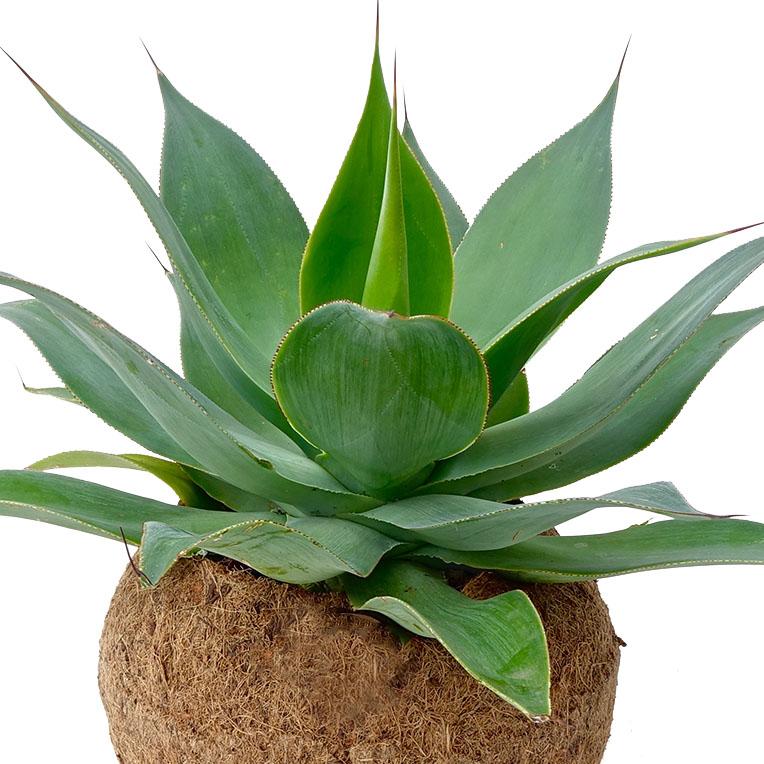 Agave succulent kopen