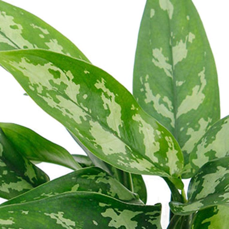 Aglaonema met groot blad kopen