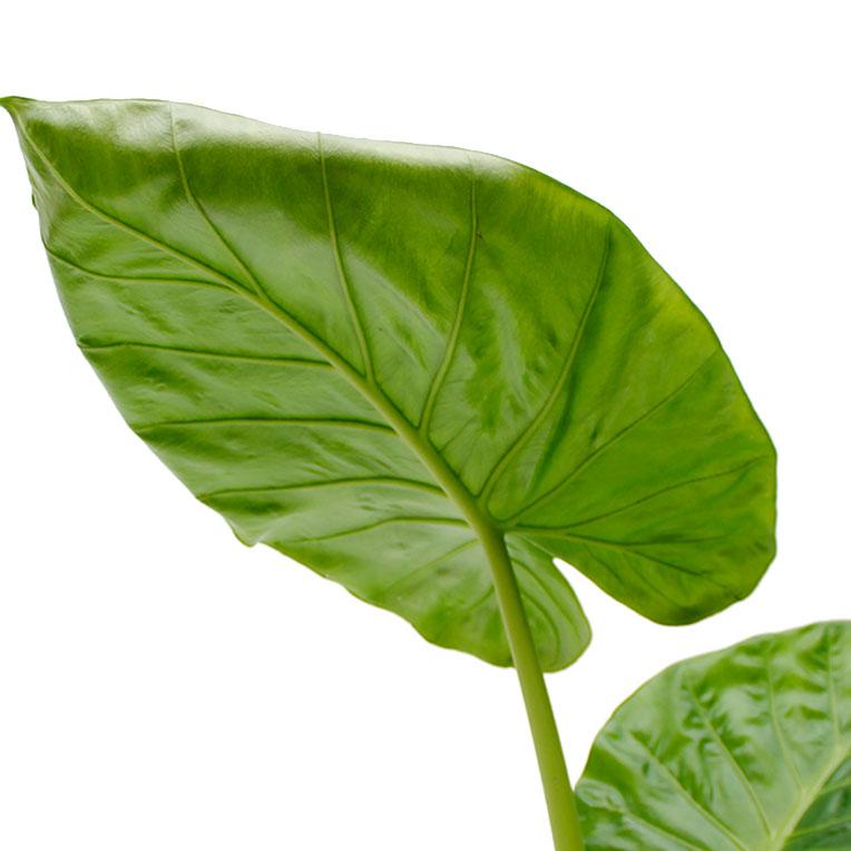 Alocasia met groot blad kopen