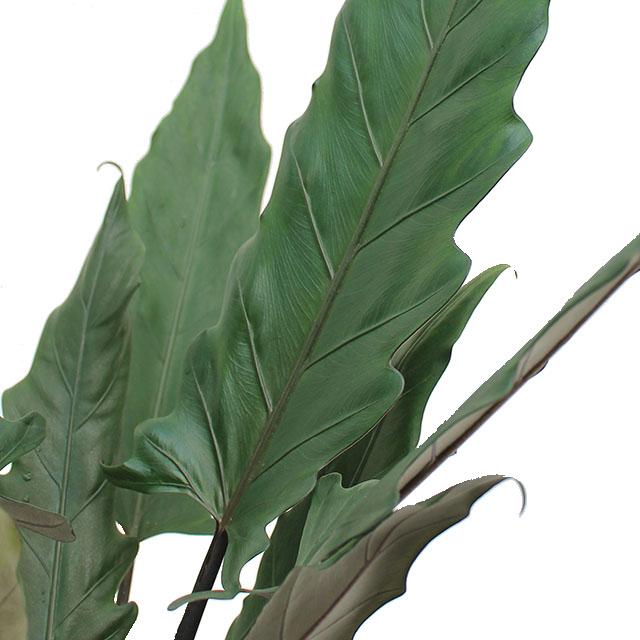 Alocasia Lauterbacchiana