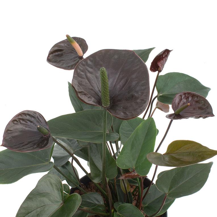 Anthurium hydrocultuur
